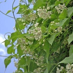 Wattakaka sinensis – pot de 1 litre (14 à 18 mois de culture)