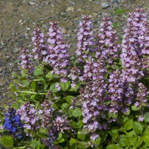 Ajuga reptans purple torch – Lot de 3 godets de 7 cm