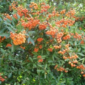 Buisson-ardent Saphyr Orange® Cadange