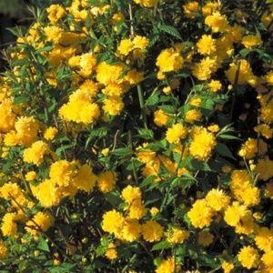 Corête du Japon 'Pleniflora' (Kerria japonica 'Pleniflora')