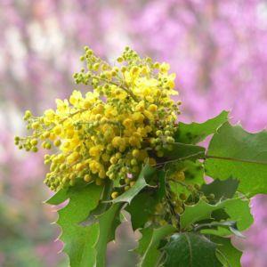 Mahonia faux houx (Mahonia aquifolium) – Pot 3 litres, H20/30cm – PLANTES ET JARDINS – Jardinerie en ligne