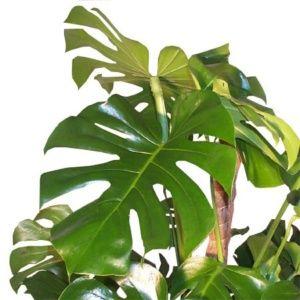 Philodendron monstera (Monstera deliciosa) – En pot de 10 cm