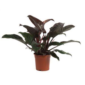 Philodendron impérial rouge – Hauteur 60/70cm