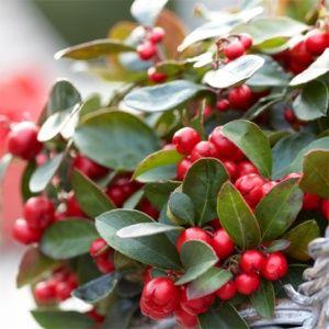 Gaulthérie procumbens (Gaultheria) – Pot de 1 litre