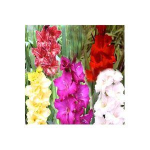 75 Glaïeuls en mélange de coloris (Gladiolus x )