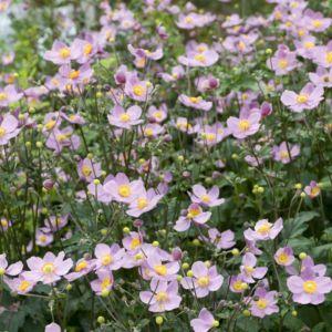 Anémone du japon rose – 3 godets de 7 cm – PLANTES ET JARDINS – Jardinerie en ligne