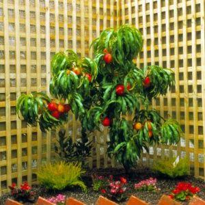 Nectarinier nain 'Rubis®' en pot de 6 litres – PLANTES ET JARDINS – Jardinerie en ligne