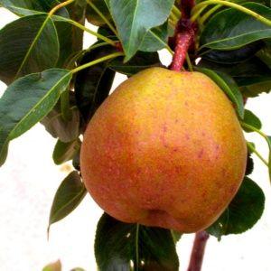 Planter un arbre fruitier nain en pot gamm vert for Cerisier nain garden bing