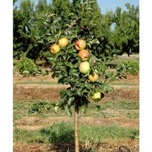 Pommier nain 'Garden Sun Red®'  – Pot déco 6 litres, hauteur totale 40/60cm