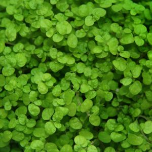 Helxine (Soleirolia soleirolii) – Lot de 3 godets – PLANTES ET JARDINS – Jardinerie en ligne