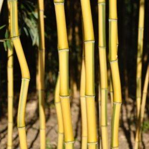 Bambou en pot (7 litres) – Phyllostachys aureosulcata 'Spectabilis'- hauteur 100/150 cm – PLANTES ET JARDINS – Jardinerie en ligne