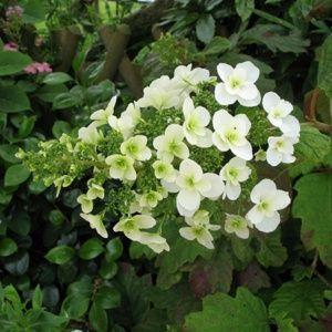 Hortensia à feuilles de chêne (Hydrangea quercifolia) – Pot de 5 litres – PLANTES ET JARDINS – Jardinerie en ligne