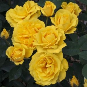 Rosier 'Carte d'or®' Meidresia (Rosa x  'Carte d'or®' Meidresia)