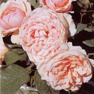 Rosier Generosa® 'Carméline®' (Rosa Generosa® 'Carméline®' Mascarme)