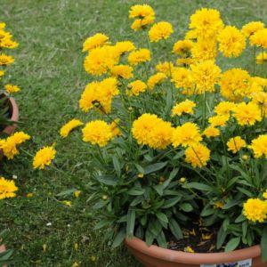 Coreopsis grandiflora badengold – louis d'or – Lot de 3 godets de 7 cm