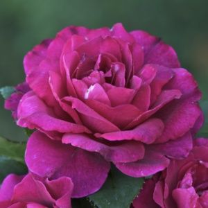 Rosier 'Intrigue®' (Rosa x 'Intrigue®')