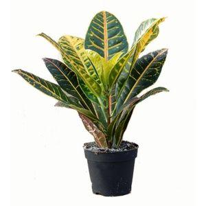 Croton 'Petra' – Plante multicolore d'intérieur – Hauteur 40/45 cm – PLANTES ET JARDINS – Jardinerie en ligne
