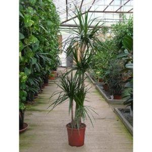 Dracaena marginata  (pieds) – Plante dépolluante – Hauteur 160/170 cm + cache-pot – PLANTES ET JARDINS – Jardinerie en ligne