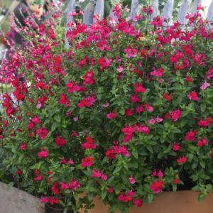 Salvia grahamii rouge – Lot de 3 godets de 7 cm