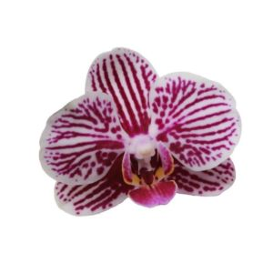 Orchidée Phalaenopsis little zebra 2 tiges
