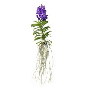 Orchidée Vanda blue magic XXL- hauteur 60cm