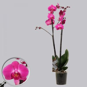 Orchidée Phalaenopsis atlantis rose 2 tiges- En pot de 12cm , hauteur 70cm