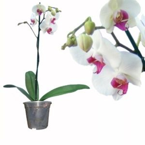 Orchidée Phalaenopsis – 2 fleurs couleurs blanches et roses – Plante d'intérieur – Hauteur 55/60cm – PLANTES ET JARDINS – Jardinerie en ligne