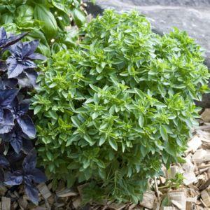 Basilic petit vert (Ocimum basilicum)