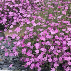 Dianthus deltoides rosea – Lot de 3 godets de 7 cm
