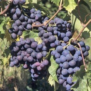 Vigne 'Muscat de Hambourg' – En pot de 2 litres