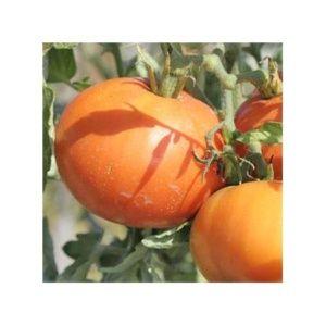 Tomate 'La Carotina' (Lycopersicum hybride )