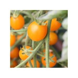 Tomate 'Cocktail Clementine' (Lycopersicum hybride )