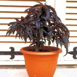 Pêcher nain 'Crimson®' en pot – Pot déco 6 litres, hauteur totale 40/60cm