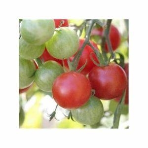 Tomate 'Miel du Mexique' (Lycopersicum hybride )