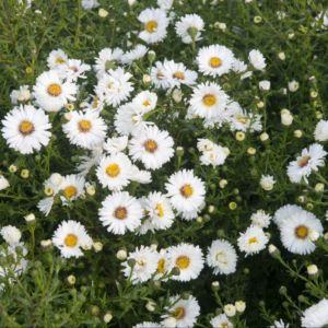Aster novi belgii white ladies – Lot de 3 godets de 7 cm