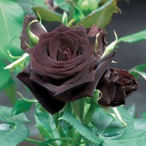 Rosier Black Baccara® Meidebenne – En racines nues avec motte