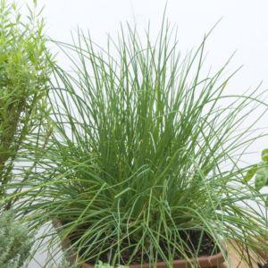 Ciboulette (Allium schoenoprasum) – Lot de 3 godets de 7 cm