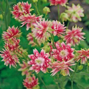 Aquilegia vulgaris nora barlow – Lot de 3 godets de 7 cm
