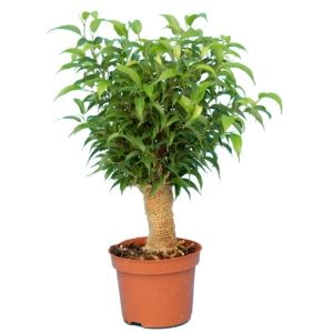 Ficus natacha 40 cm tronc jute