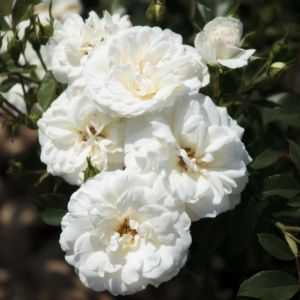 Rosier 'Carte blanche®' Meibarum (Rosa x 'Carte blanche®' Meibarum)