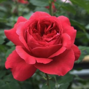 Rosier 'Ruban Rouge®' Meiprehmyr