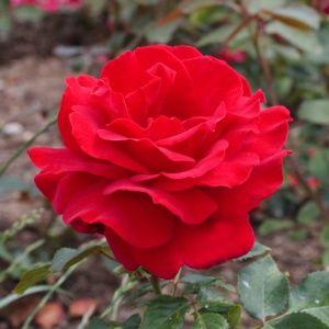 Rosier 'Victor Hugo®' Meivestal (Rosa x  'Victor Hugo®' Meivestal)