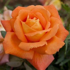 Rosier 'Louis de Funès®' Meirestif (Rosa x 'Louis de Funès®' Meirestif)