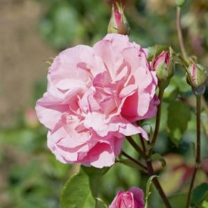 Rosier 'Queen Elisabeth' (Rosa x 'Queen Elisabeth')