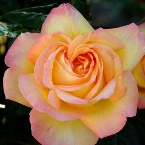 Rosier 'Mme A. Meilland' (Rosa x 'Mme A. Meilland')