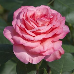 Rosier 'Panthère Rose®' Meicapinal (Rosa x 'Panthère Rose®' Meicapinal)