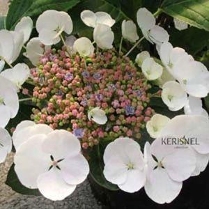 Hortensia 'Libelle' (Hydrangea macrophylla 'Libelle') – Pot de 5 litres – PLANTES ET JARDINS – Jardinerie en ligne