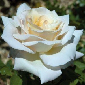 Rosier Jardins de Bagatelle® Meimafris