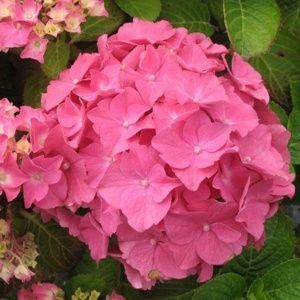 Hortensia 'Rosita' – pot de 5 litres – PLANTES ET JARDINS – Jardinerie en ligne