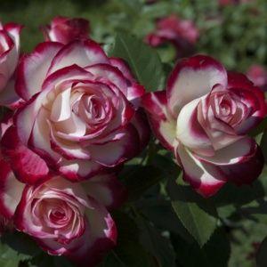 Rosier 'Jubilé du Prince de Monaco®' Meisponge